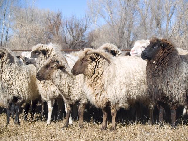 羊群效应是什么意思啊(羊群效应生活中的例子)
