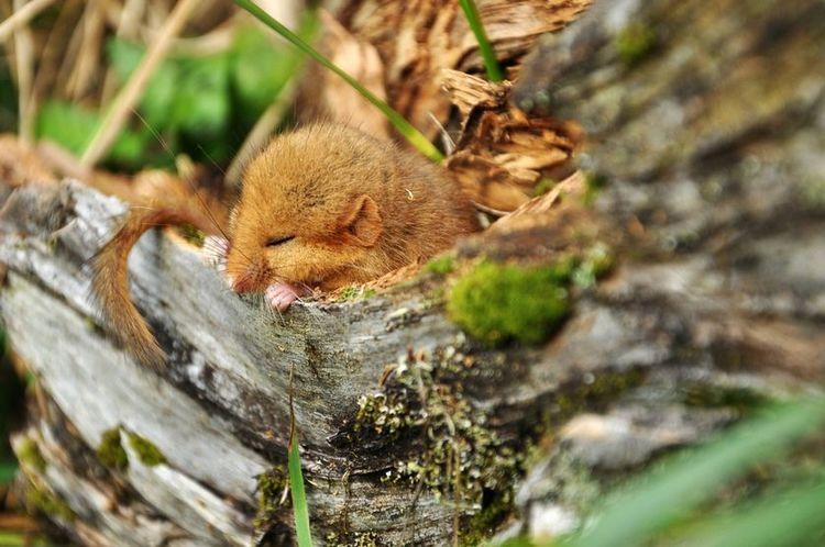 英国的重点保护濒危动物睡神榛睡鼠,五年寿命四年睡觉