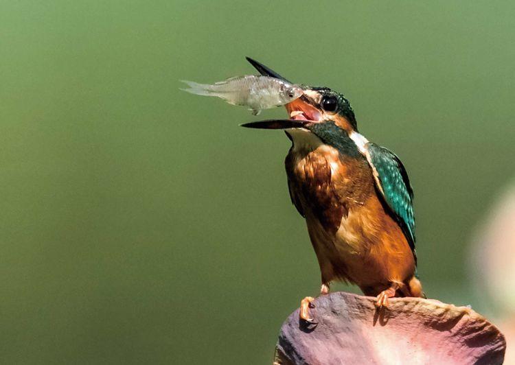 翠鸟捕鱼,舌尖上的美食