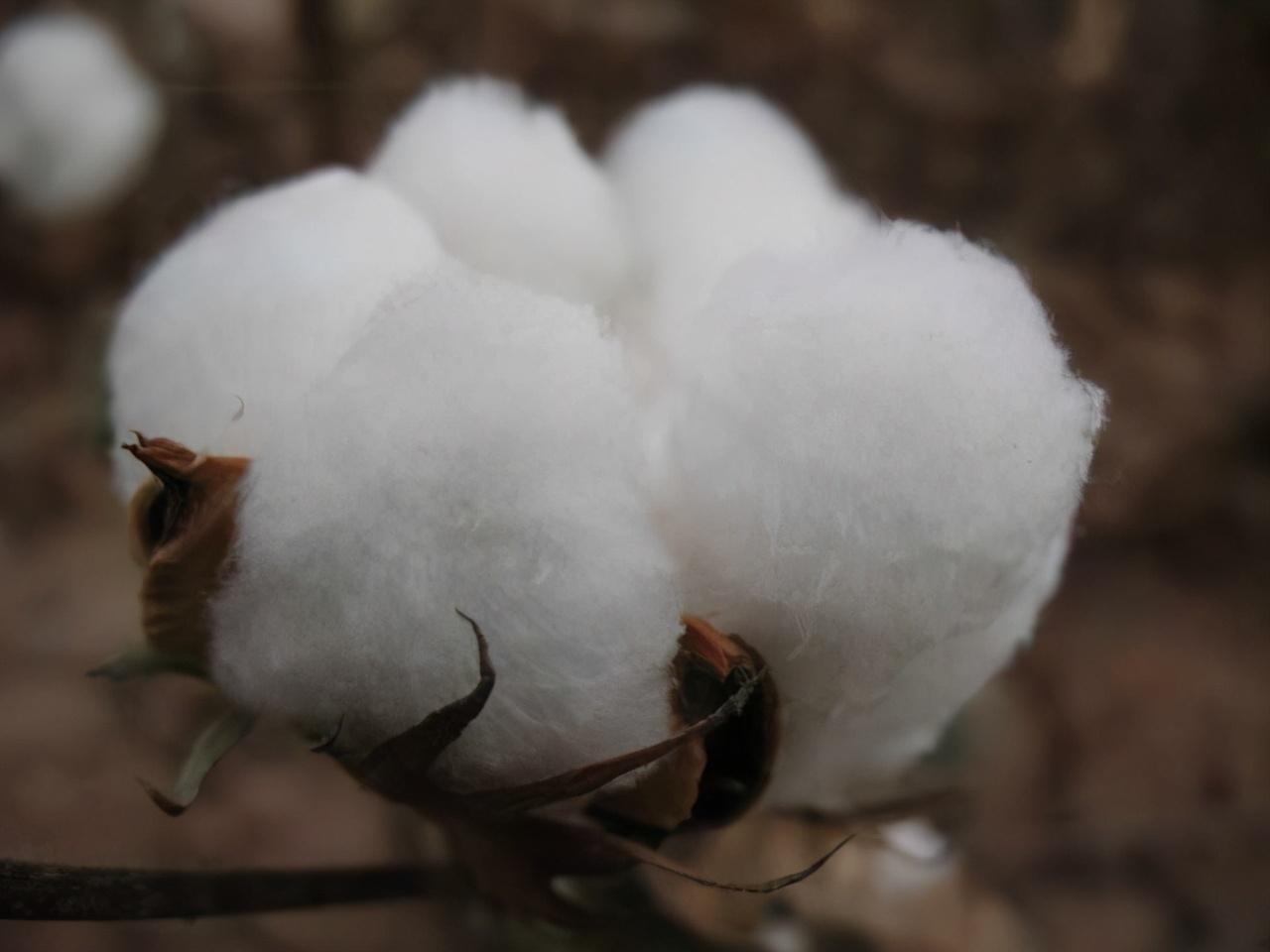 抵制新疆棉花?笑话!快来看看新疆长绒棉到底有多好