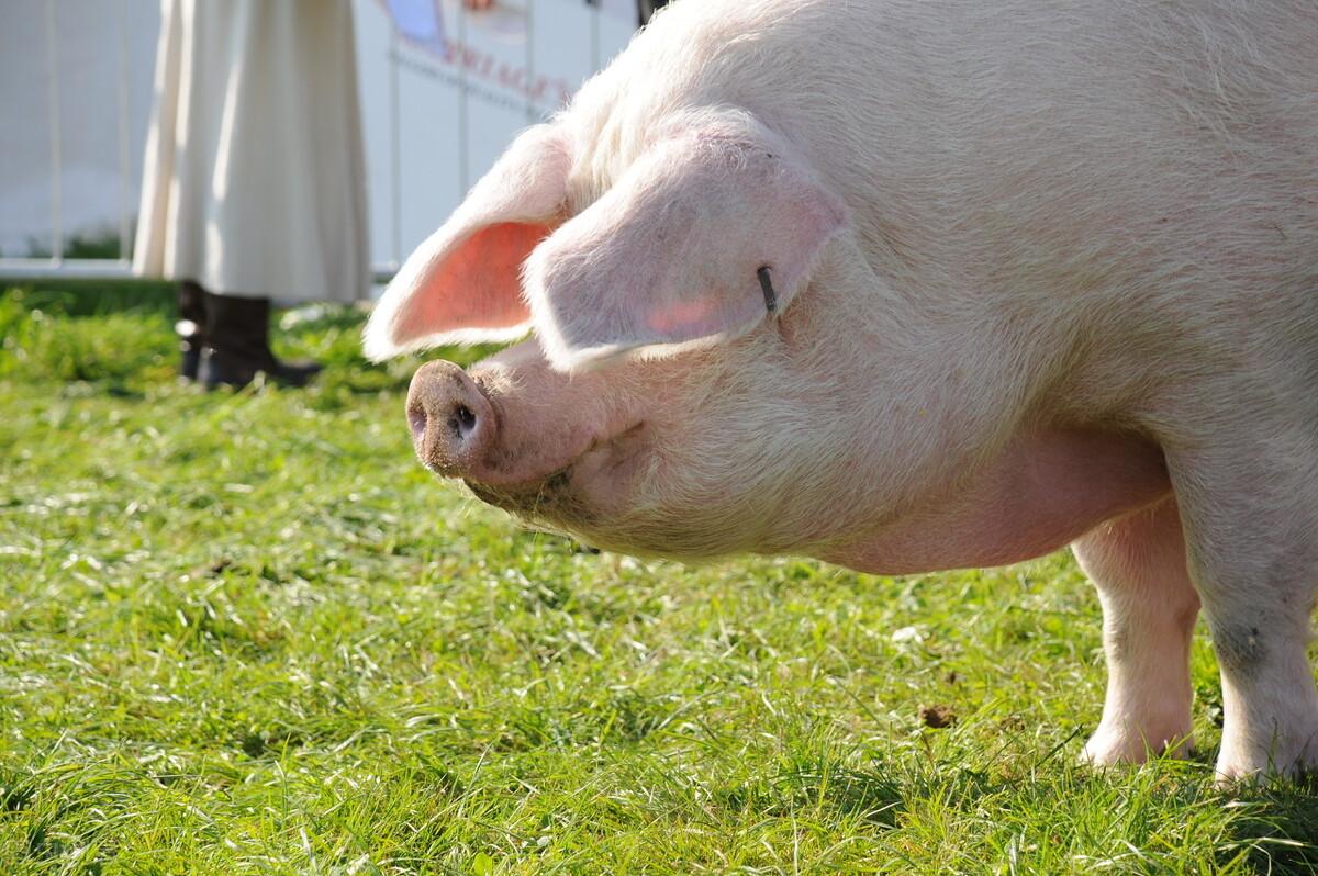 """生猪刚涨就跌,进口猪肉大增,5月""""一跌到底""""?2个坏消息或还跌"""