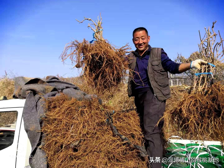 为什么我不建议客户直接栽植两年上架的博山碧玉猕猴桃树苗