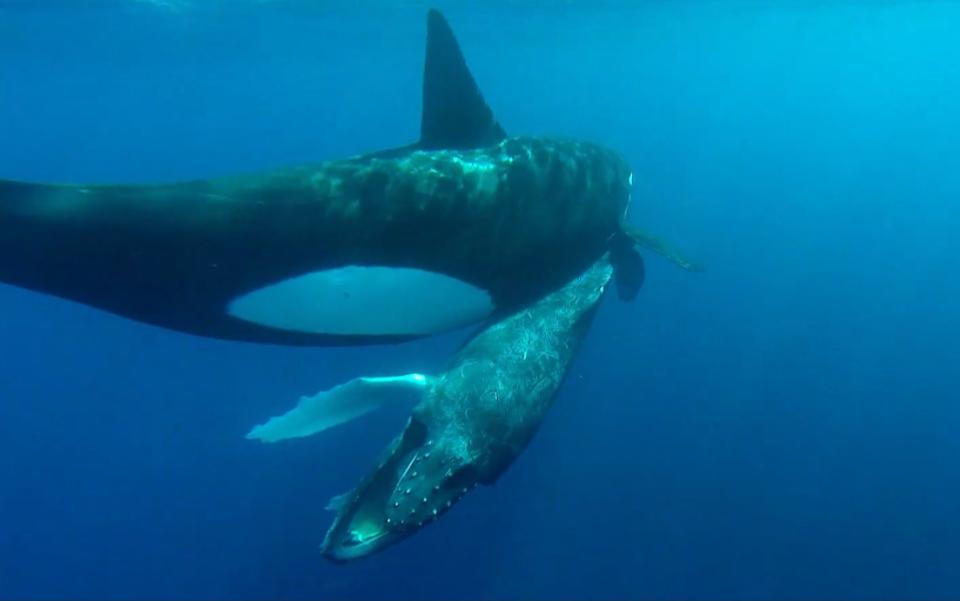 被圈养42年后,加拿大最孤独的虎鲸开始自残 民众呼吁放生