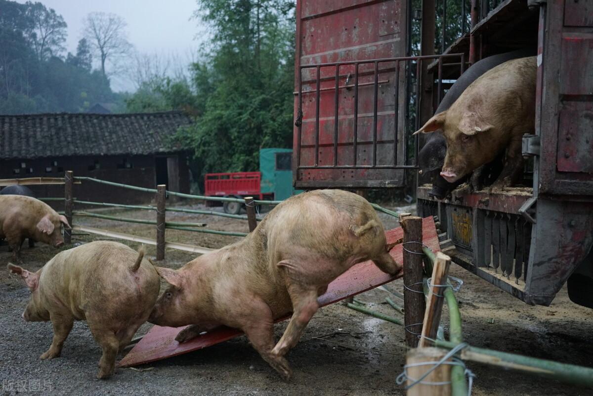 """猪暴跌25%!肉价跌成一个前缀!喂""""趴""""!市场是不是要结束了?"""