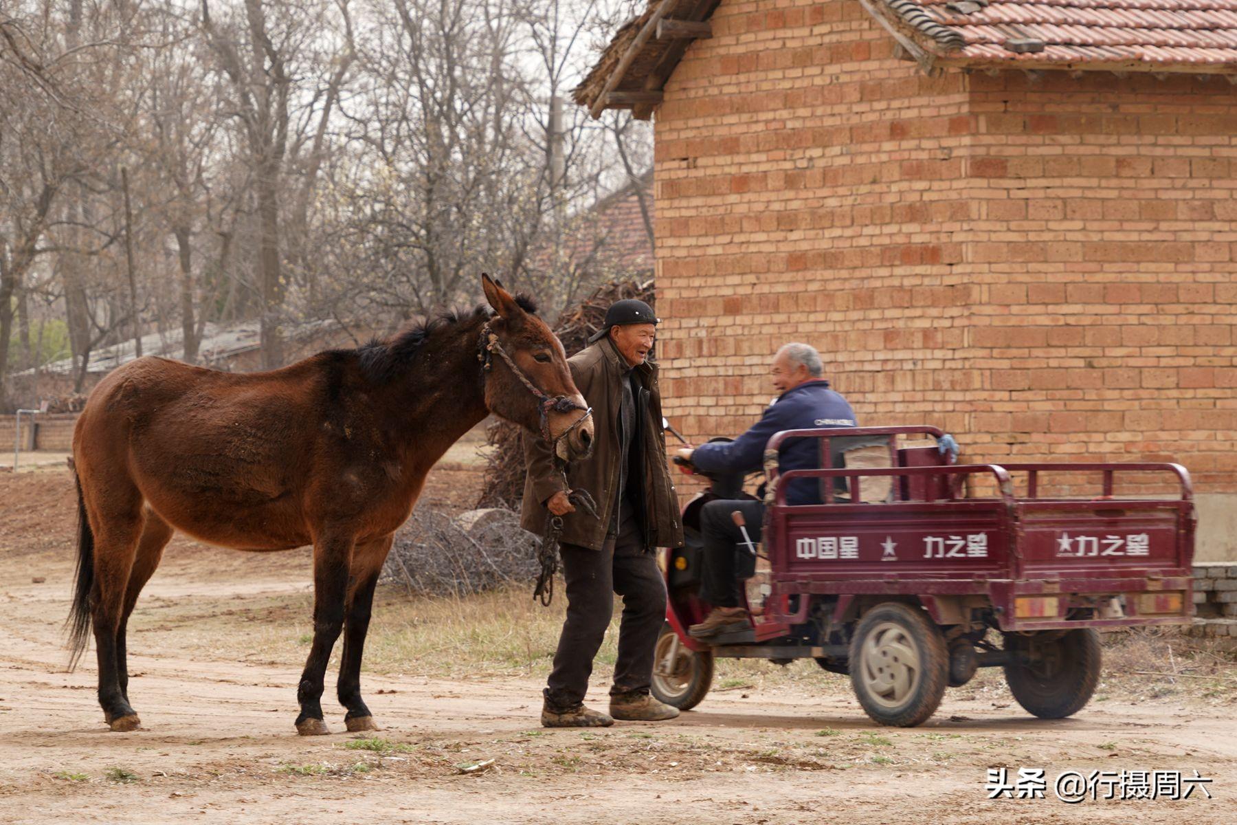 農村大爺家養800斤大寵物20年,只吃草能幹活,5萬不賣