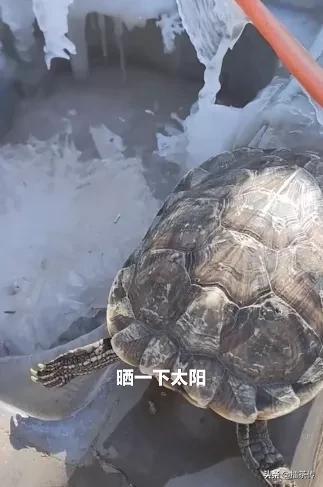 冻死乌龟下锅后突然活过来