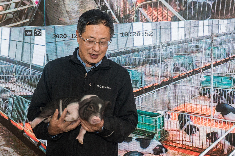 吃饲料长大的猪,肉就不香了吗?专家:主要看这种物质的含量