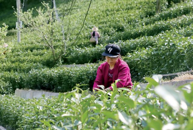 年产值近8000万元!商城高山茶带动茶农增收致富