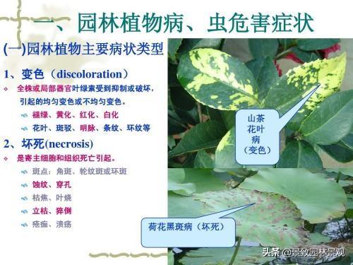 园林植物常见病虫害汇总(收藏篇),或许对你有用!持续更新 病虫害 第2张