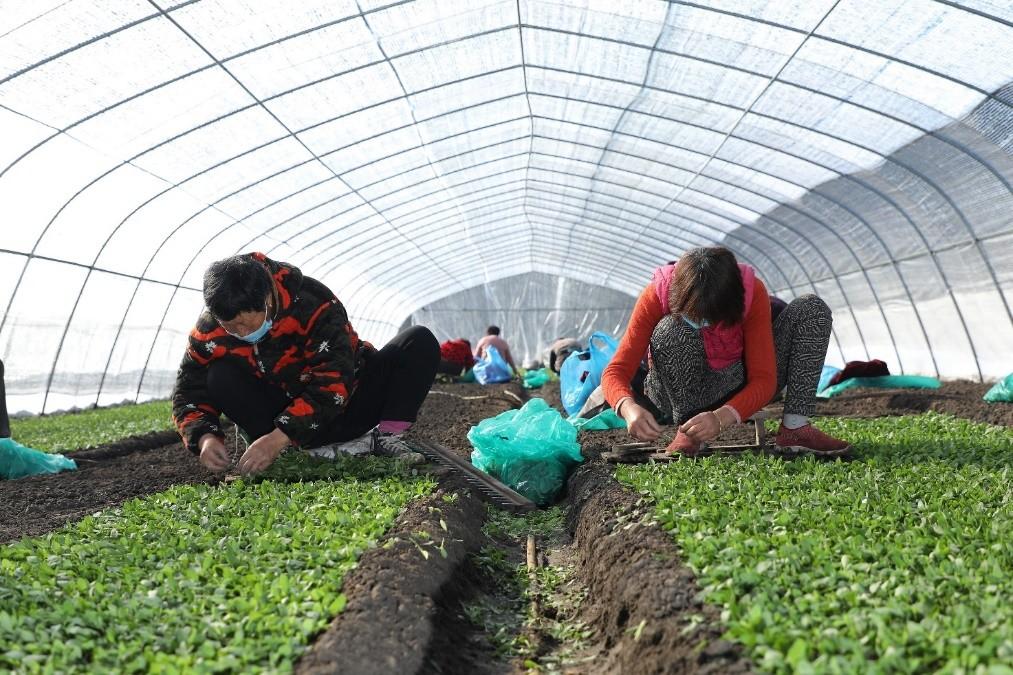 泰莱集团推出甜叶菊可持续种植新计划 助力中国乡村振兴战略