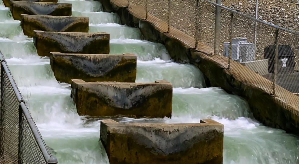人类发明了鱼梯,然而鱼却爬不上去,我们该如何拯救回溯鱼?