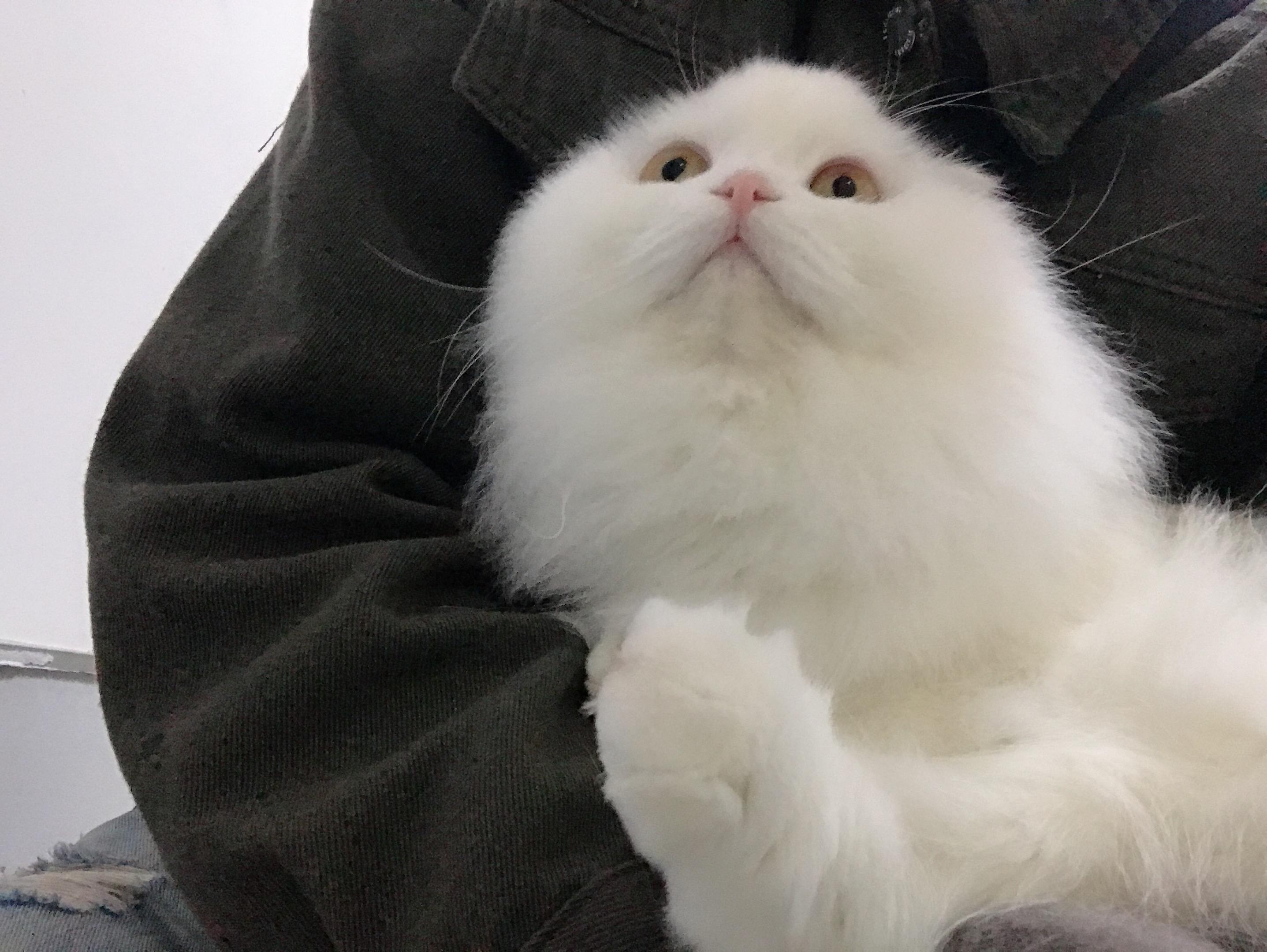 可爱又好看的布偶猫,猫中小仙女