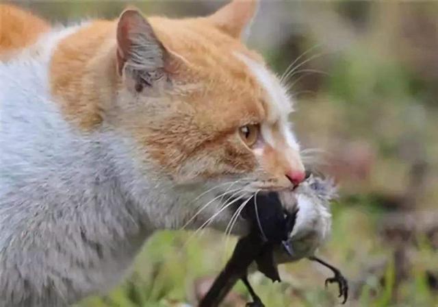 猫咪与鸟的恩怨情仇:一年大约有13亿只鸟在猫爪下挣扎