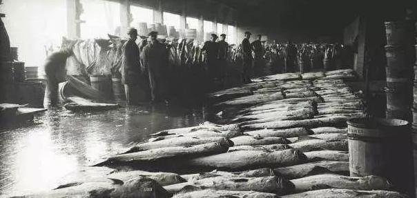 欧洲渔民表示:这里的鱼群非常稠密,几乎可以踩着鱼群的背走上岸