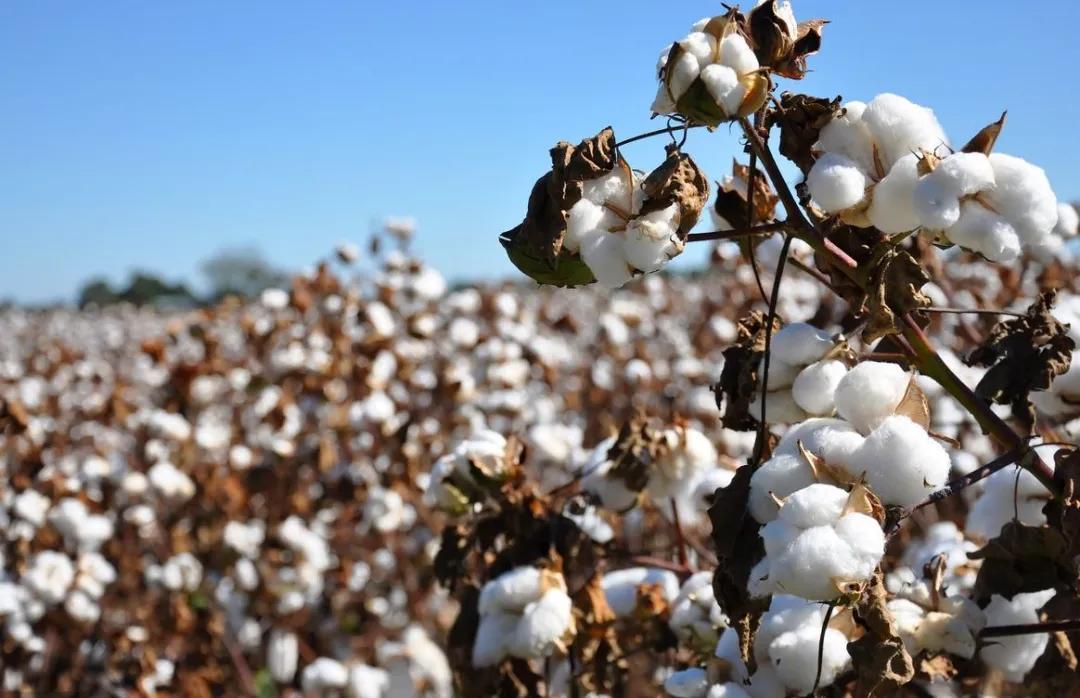 棉纱涨3000元!棉纱、坯布库存双低,春节后棉花大涨多少?