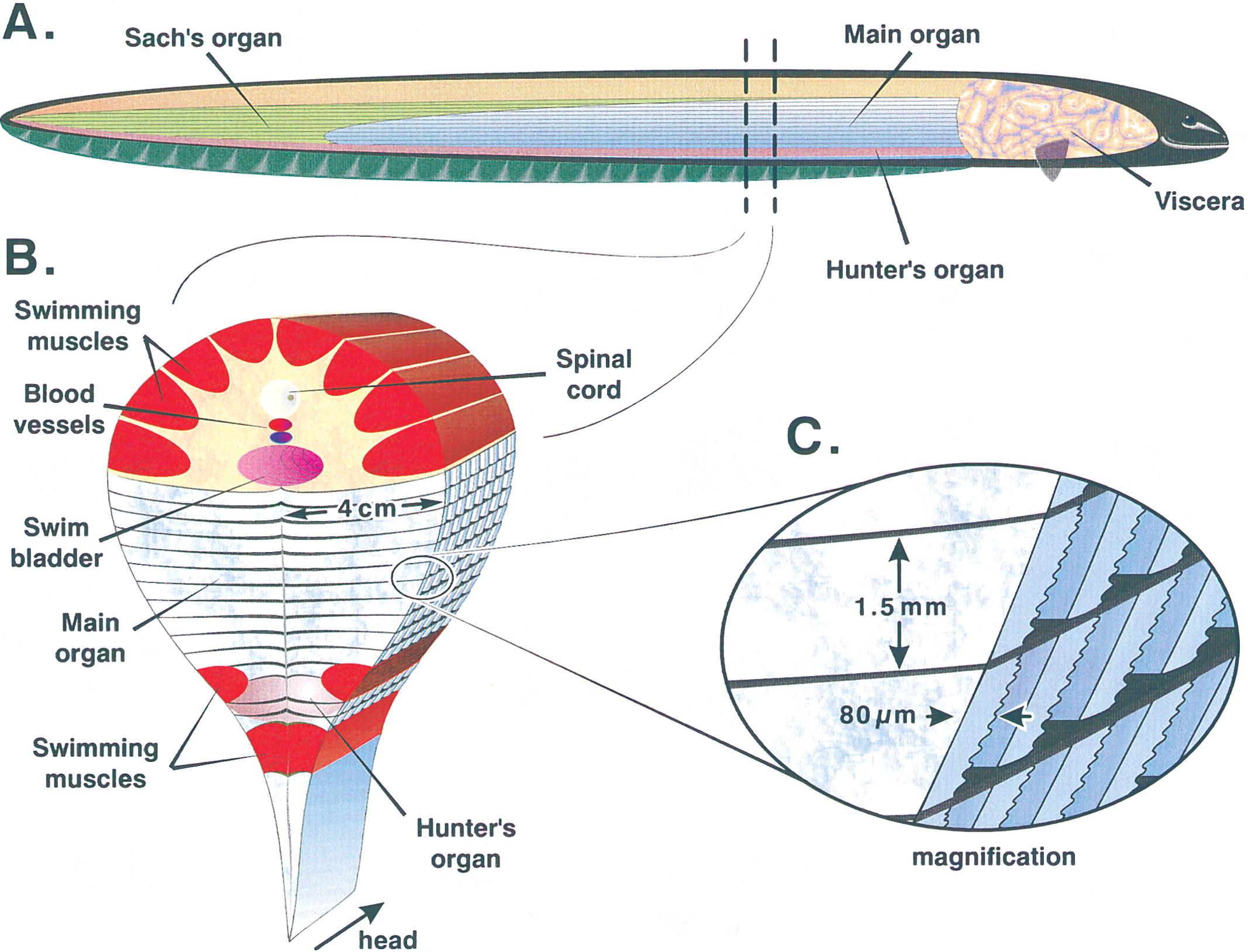 电鳗放电原理(电鳗为什么能够发电)插图(1)