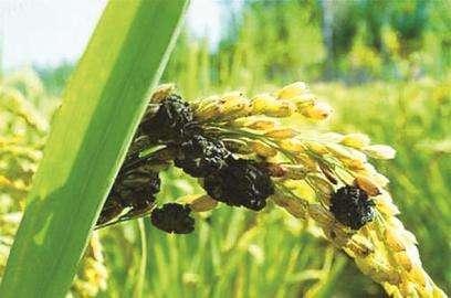稻曲病严重危害水稻品质?搞清楚发病规律,才能一次性解决