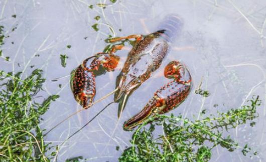 小龙虾养殖的图片 第2张