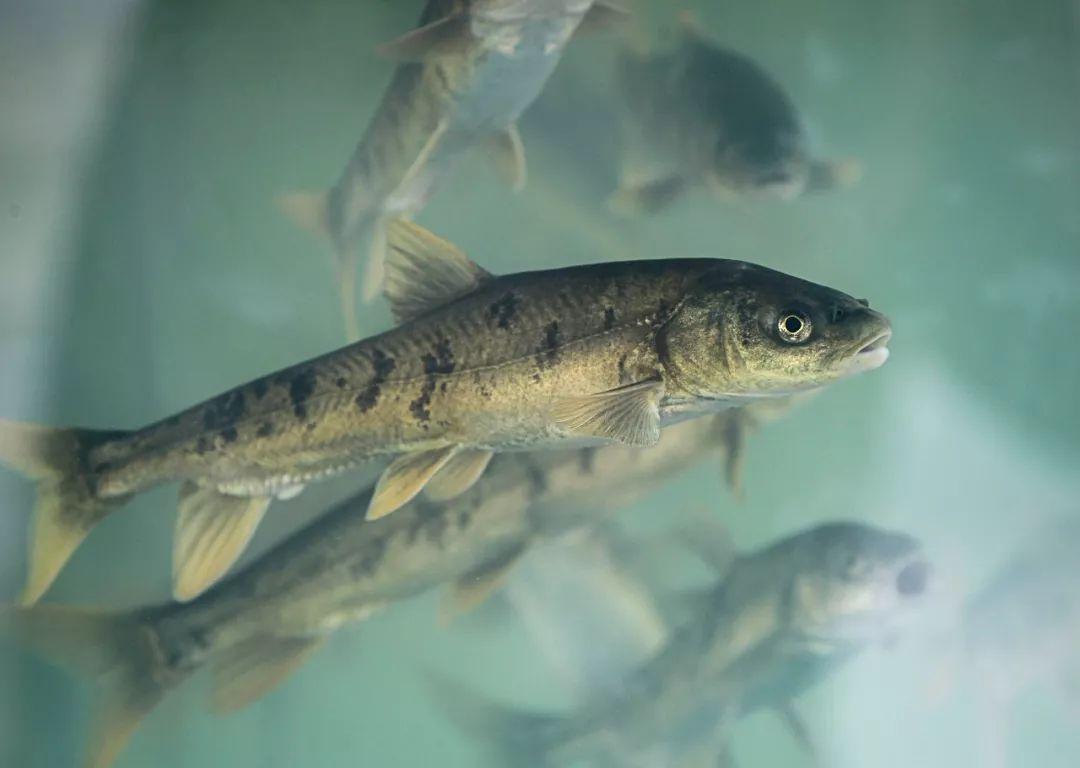 """西藏""""天然鱼库""""的鱼,数量高达8亿公斤,为什么没人敢捕捞?"""