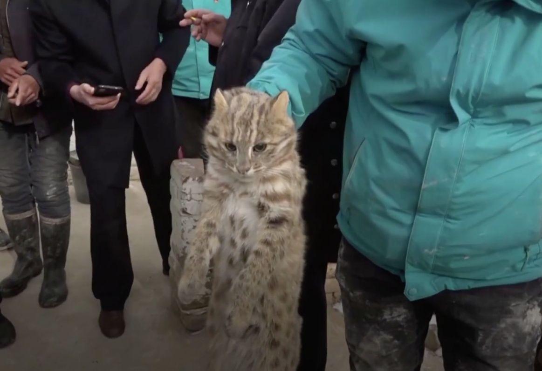 黑龙江省一农民竟然一晚上拍死三只偷鸡的豹猫