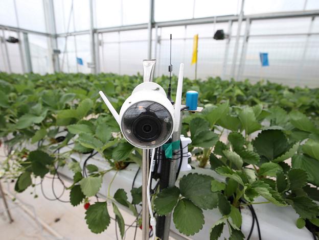 用人工智能种草莓,拼多多想颠覆传统农业?-最极客