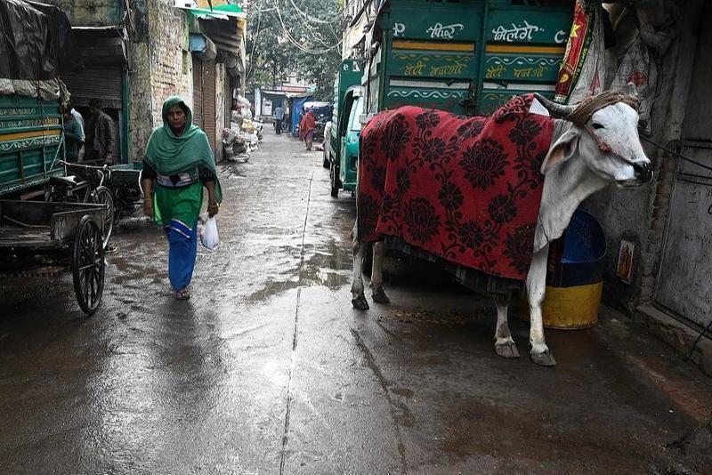 """印度将举行一场""""牛学""""考试,背后可能是政治化的动物崇拜"""