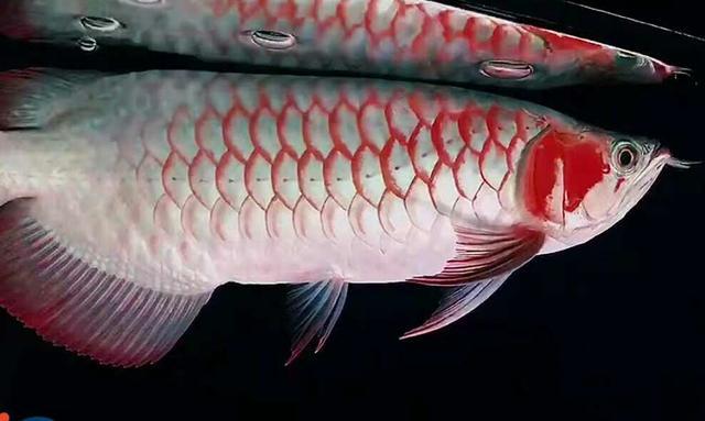 有人告诉我观赏鱼没有心脏,我差点就相信了,其实它们一样也不缺