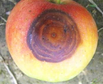 轮纹病造成苹果腐烂?准确识别症状,科学用药能根治