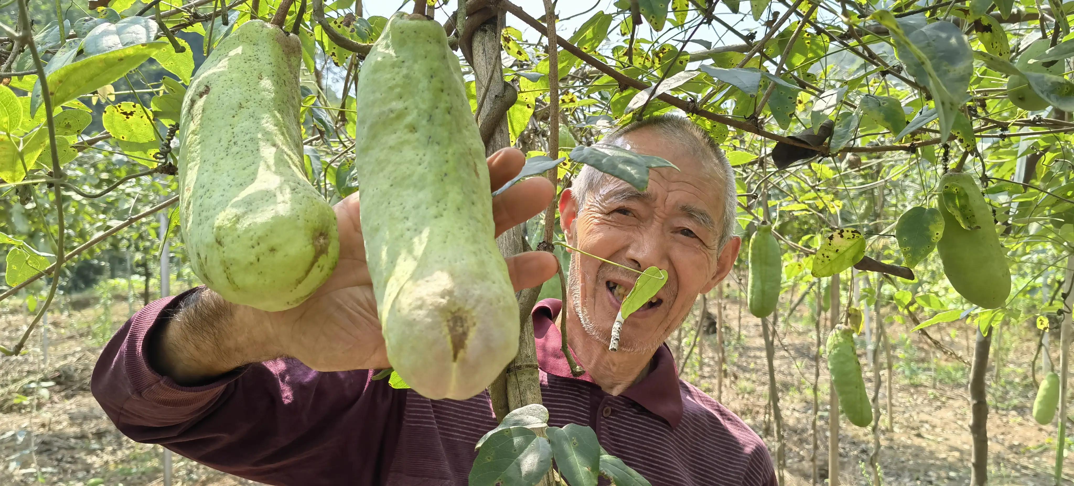 """湖北宜都:农民种野""""八月喳""""亩产2万,相当喂4头猪"""