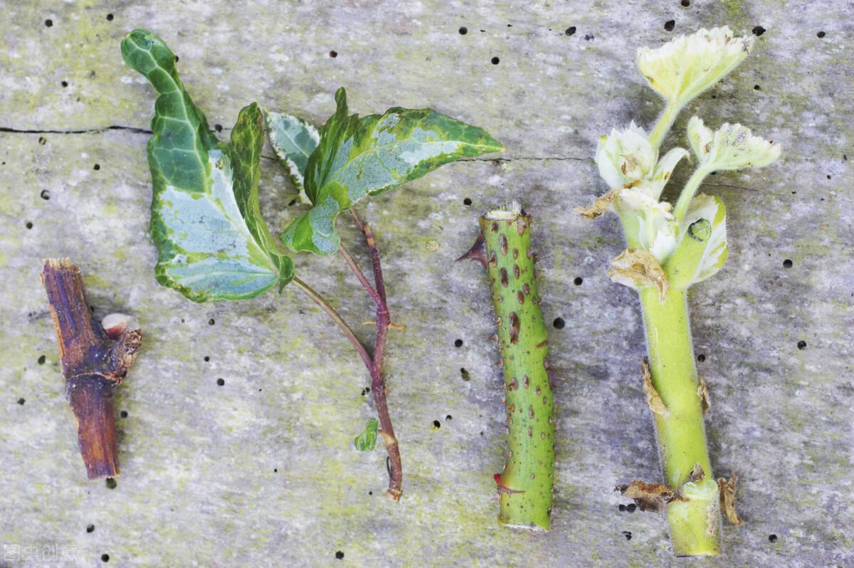 两季相交忙插花!扦插花草的最佳时间到来,20个品种扦插起来 扦插花草 第2张