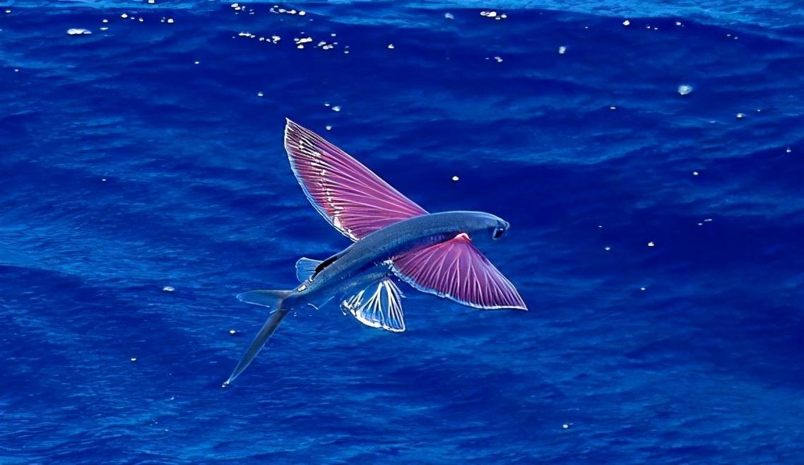 飞鱼:我也不想飞啊,实在是水里对手太强